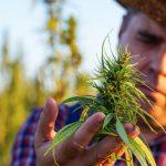Man checking hemp plant